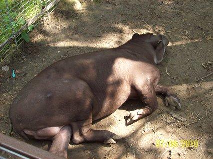 FOTKA - Lenivý tapír Pedro