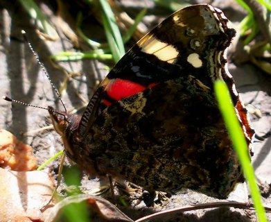 FOTKA - Pózující motýl