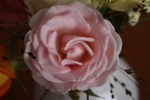 FOTKA - Růže XI.