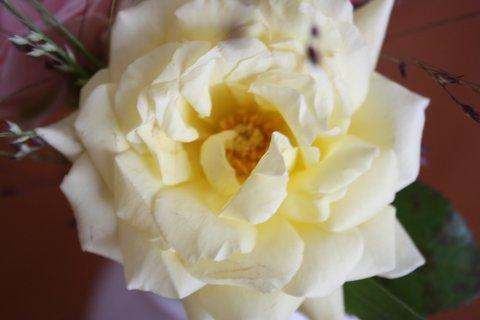FOTKA - Růže XII.