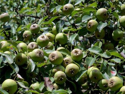 FOTKA - Hruštičky ve tvaru jablíček