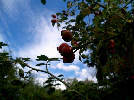 FOTKA - Podzimní šípek