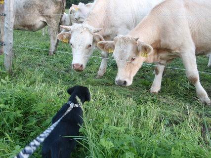 FOTKA - Dora se seznamuje s krávama