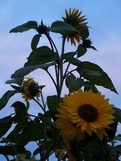 FOTKA - sluníčka na zahradě..