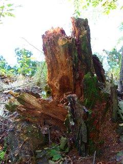FOTKA - starý kořen stromu na břehu..