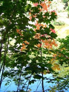 FOTKA - podzimní javor