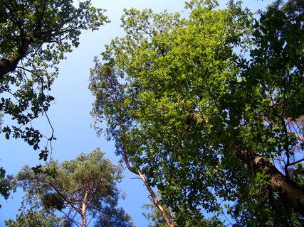 FOTKA - koruny borovic a dubů...