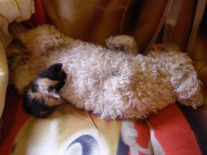 FOTKA - bišonka kojí kotě..*