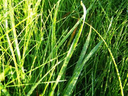 FOTKA - rosa v trávě.,,,