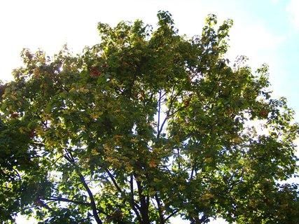 FOTKA - prosvětlená koruna zbarvujícího se stromu ....