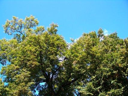FOTKA - koruna stromu s krásnou oblohou.....