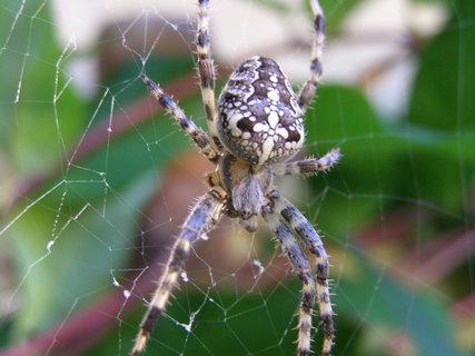 FOTKA - pavouček-