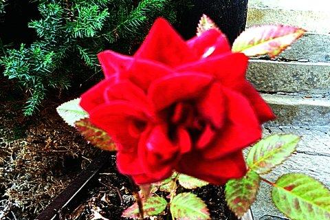 FOTKA - Růžička v truhlíku