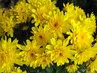 žlutě rozzářené listopadky