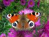 stařeček motýl na poledním sluníčku