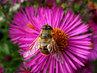 poctivá údernice včelka, než bude zima, musí se vše vysbírat