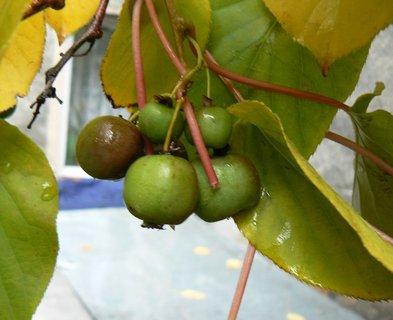 FOTKA - kiwi,druh,který se jí i se slupkou