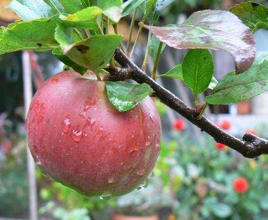 FOTKA - jablíčka se začínají vybarvovat