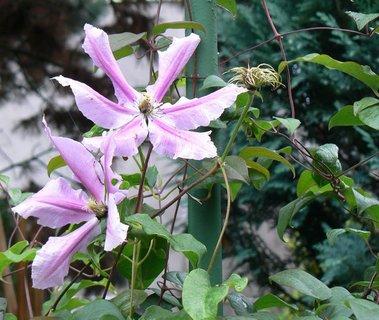 FOTKA - poslední květy klematisu