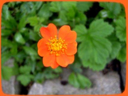FOTKA - Ozdobná jahoda květ