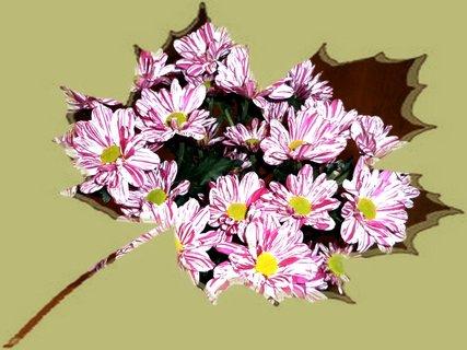 FOTKA - Fialové chryzantémy