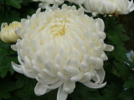 FOTKA - chryzantéma