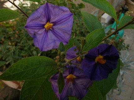 FOTKA - květy hořcového stromku