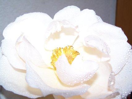 FOTKA - růže 4