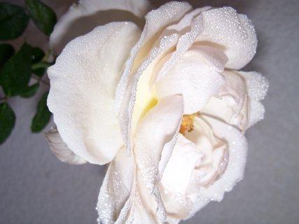 FOTKA - růže 5
