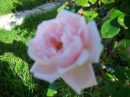 FOTKA - Rosy