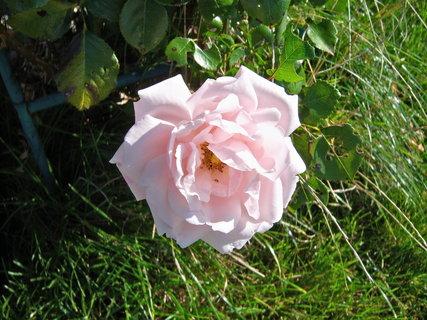 FOTKA - Květ růže popínavé