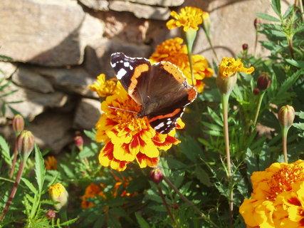 FOTKA - Motýl v Afrikánech 2