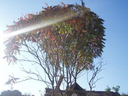 FOTKA - sluneční paprsky v koruně Škumpy
