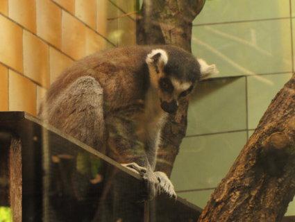 FOTKA - Lemur červenobřichý
