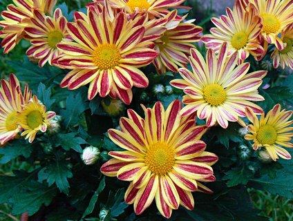FOTKA - pestré chrazantémy na zahradě