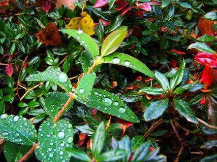 FOTKA - kapky na keři po dešti.,,,,