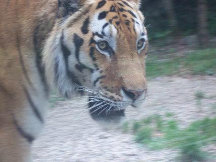 FOTKA - tygr 4