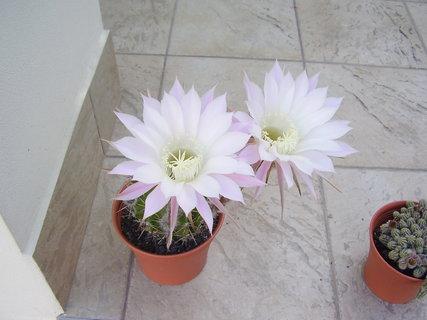FOTKA - kvetoucí kaktusy