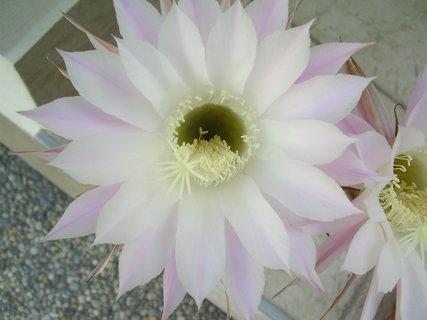 FOTKA - kvetoucí kaktusy.