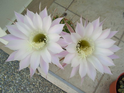 FOTKA - kvetoucí kaktusy..