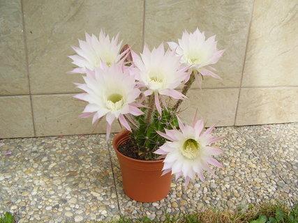 FOTKA - kvetoucí kaktusy...
