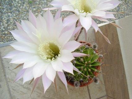 FOTKA - kvetoucí kaktusy....