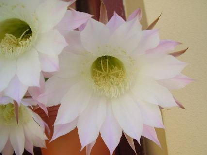 FOTKA - kvetoucí kaktusy.....