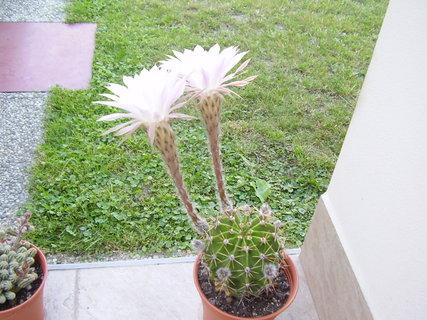 FOTKA - kvetoucí kaktusy......