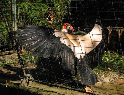 FOTKA - Kondor královský s roztaženými křídly
