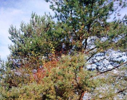 FOTKA - Šípek a borovice