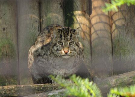 FOTKA - Kočka rybářská