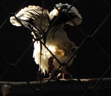 FOTKA - Sup mrchožravý si natřásá křídla
