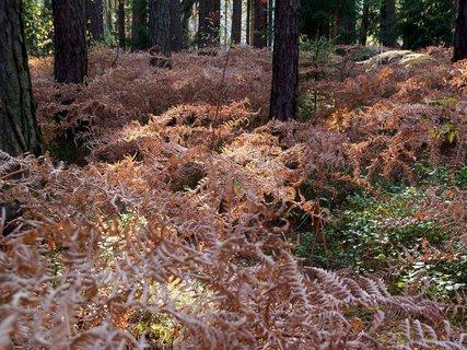 FOTKA - Zlatavé kapradí v lese