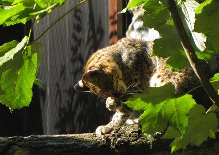 FOTKA - Kočka slaništní